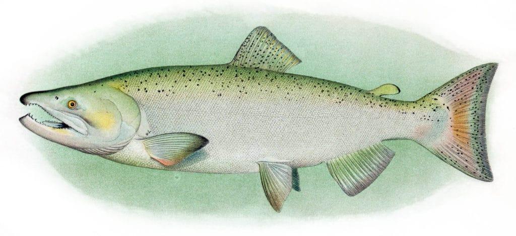 Chinook Salmon Adult Male 1024x470