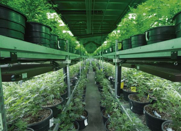 Ripper Seeds Cultivo Legal 1 Mesa De Trabajo 1 E1527502192611 1